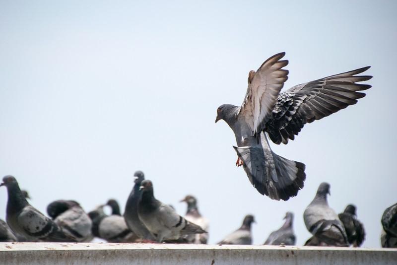 ベランダ 鳩
