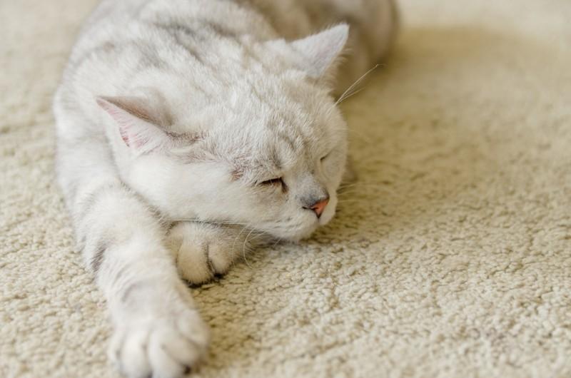 ペットがフロアカーペットで寝ている様子