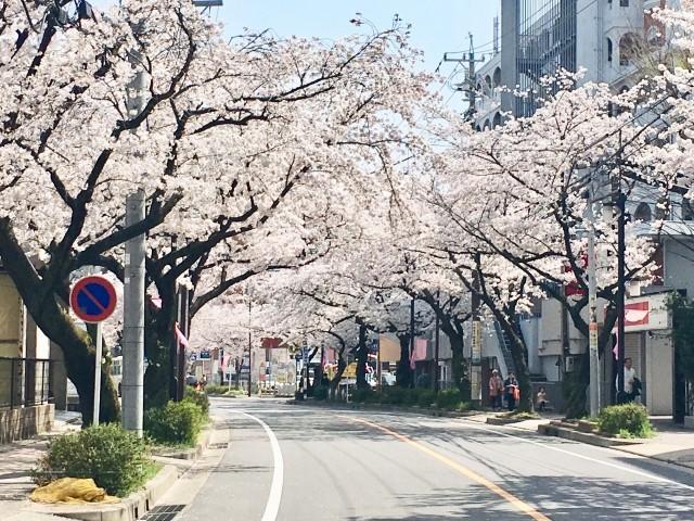 藤が丘の桜並木