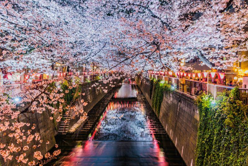目黒川の桜並木の画像